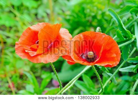 Red remembrance poppy flowers close up view