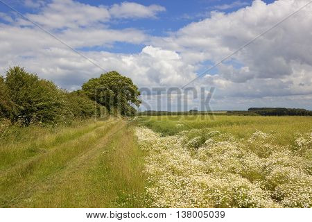 Bridleway And Chamomile Flowers