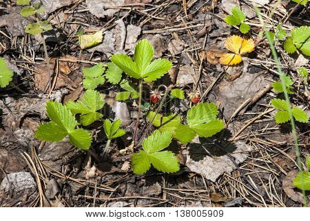 Fragrant wild strawberry in the birch wood