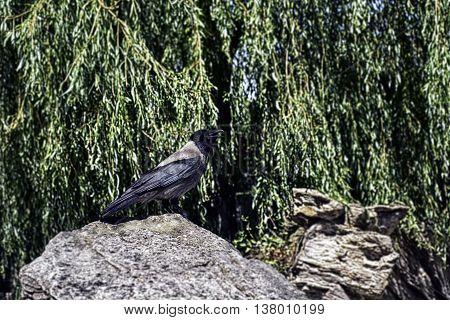 Hooded crow closeup on a rock horizontal.