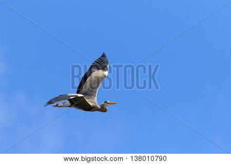 A Grey Heron (Ardea cinerea) in flight