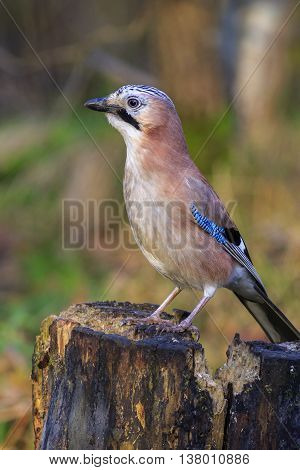 Jay perched on a tree stump close-up