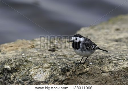 Pied wagtail (Motacilla alba) on a rock