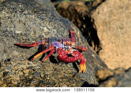 Red Sally Lightfoot crab on a rock