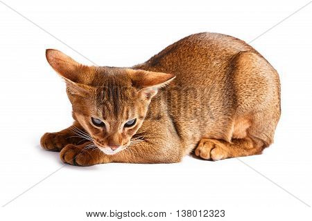 red short-haired Abyssinian cat Isolated on white background