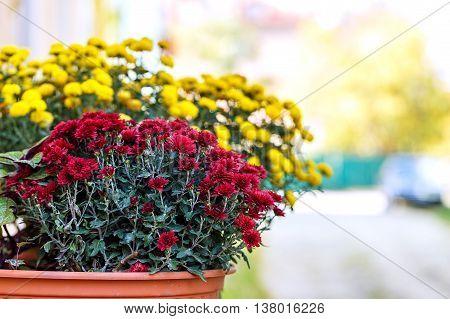chrysanthemum flowers flowerpot nature outside close up