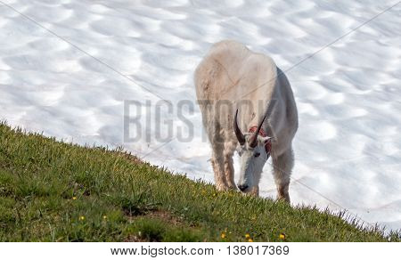 Male Billy Mountain Goat on snowfield in Olympic National Park