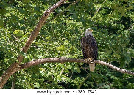 A Bald Eagle. Taken in Kentucky from a canoe.