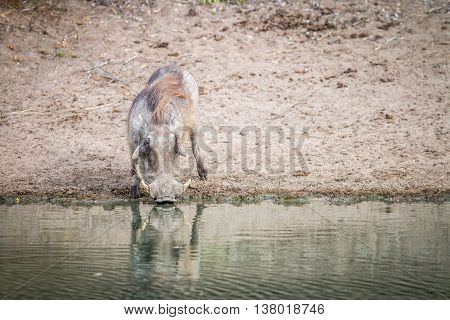 A Warthog Drinking From A Dam.