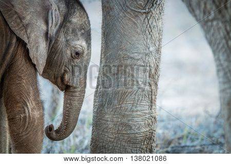 A Young Elephant Calf In Between The Legs Of An Adult Elephant.