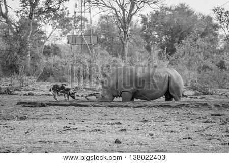 African Wild Dog Drinking Next To A White Rhino In Black And White.