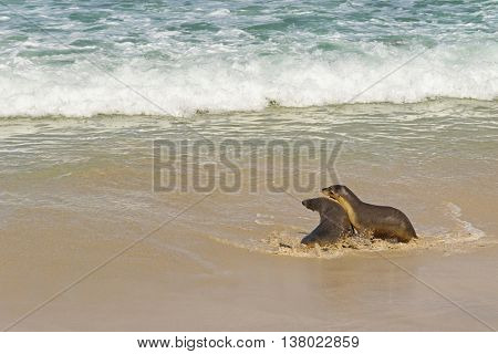 Australian Sea Lions playing with sea water at Seal Bay, Sea lion colony on south coast of Kangaroo Island, South Australia
