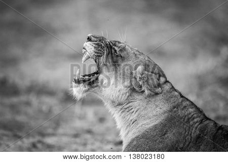 Lioness Yawning In Black And White In The Kruger National Park