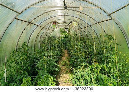 Greenhouse tomatoes and green peppers cucumbers. village farm a homemade greenhouse.