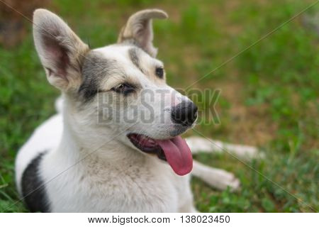 Outdoor portrait of positive mixed breed young dog lying in summer grass