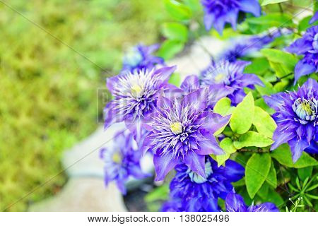Beautiful colorful clematis in garden
