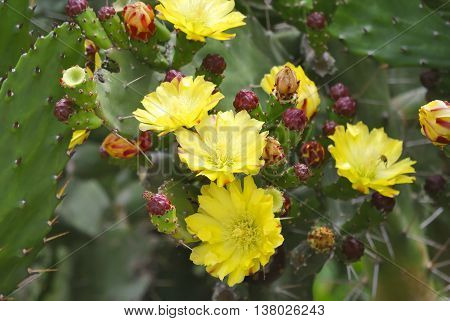 Yellow flowers of blooming prickly pear (opuntia).