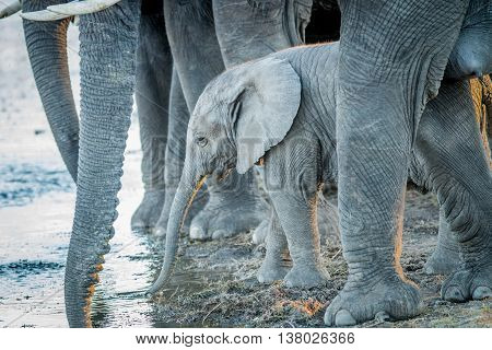 A Young Elephant Calf Drinking In Between The Legs Of Adult Elephants.
