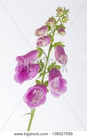 Foxglove Digitalis purpurea flower on white background