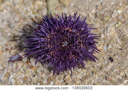 Sea urchin on the beach Macro background picture