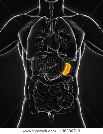 Human Spleen Anatomy Illustration . 3D render