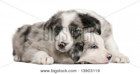 Blue Merle Border Collie puppies, 6 weeks old, in front of white background