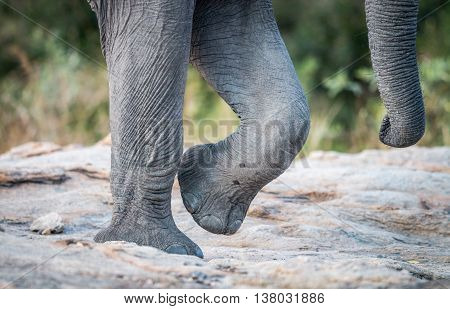 Elephant Feet And Trunk In The Kruger National Park.