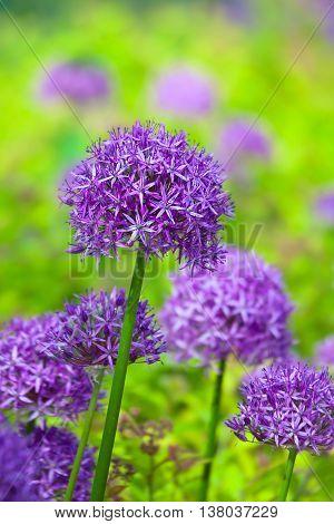 Purple allium flowers at botanic garden. Close up