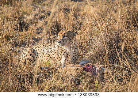 Cheetah On A Reedbuck Kill In The Sabi Sabi Game Reserve.