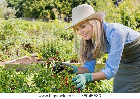 Happy woman gardening in her vegetable garden. Mature woman gathering hot chili peppers in the garden. Pretty senior woman gardening with love.