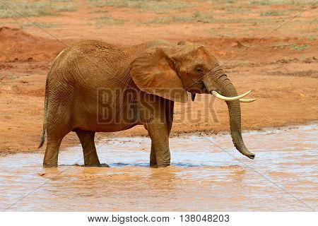 Elephant On Savannah In Africa