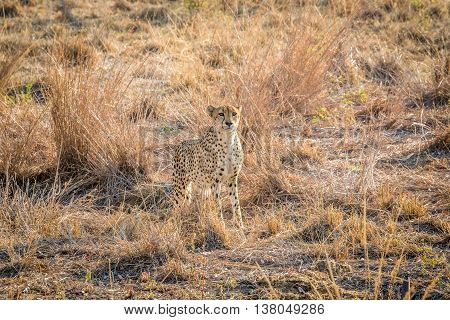 Starring Cheetah In The Grass In The Sabi Sabi Game Reserve.