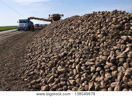 Loading raised sugar beets in piles in the field of freight transport for their transportation to the processing plant in