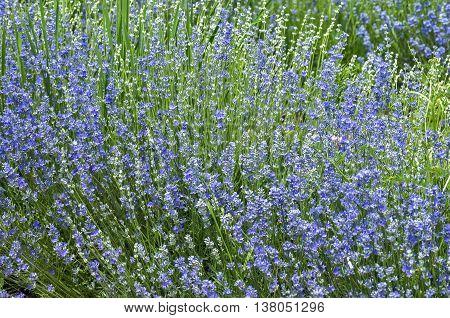 Salvia nemorosa caradonna blue sage with tall blue-violet flower stems as natural floral background