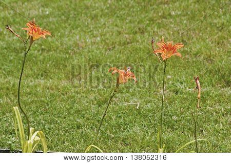 Orange lilium hybrid flowering plants on green grass park meadow background