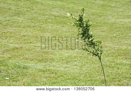 Sapling planted on green park meadow as background