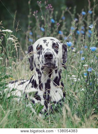 Toned portrait of a cute dog dalmatian laying in the field of flowers (focus on nose)