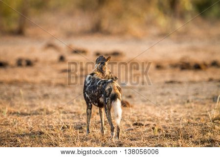 African Wild Dog Starring In The Kruger National Park.
