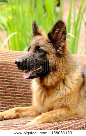 Young Fluffy Dog Breed German Shepherd lying in the garden bench, outdoor. Pet outside
