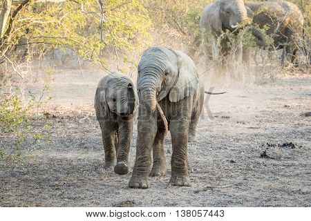 Two Young Elephants Playing In The Kruger National Park.