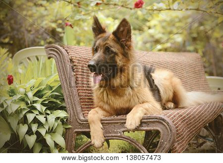 Young Fluffy Dog Breed German Shepherd lying in the garden bench, outdoor. Pet outside. Vintage filtered photo
