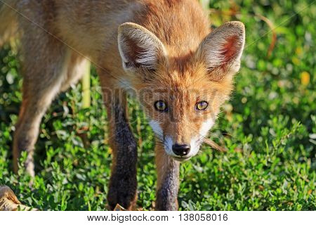Portrait of a young young fox, animals, mammals, summer morning