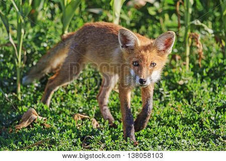young fox sniffs the wind, the younger generation, mammals, animals, trick