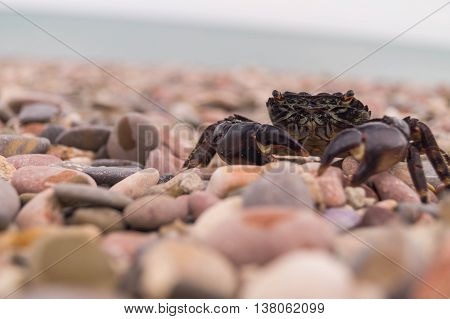 Sally Lightfoot Crab. Black sea, Crimea.Crimean crab. Food