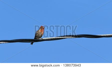 Common House Finch Sitting And Take A Rest