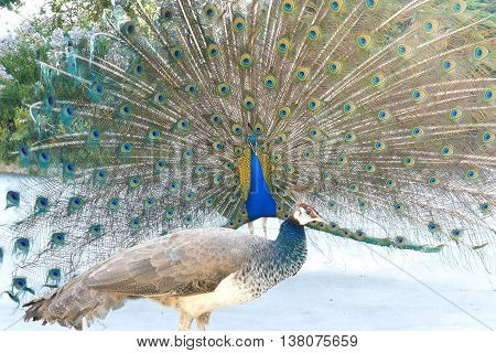 Beautiful Peacock Showing Its Fan