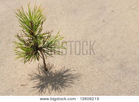 Small pine on the sand desert