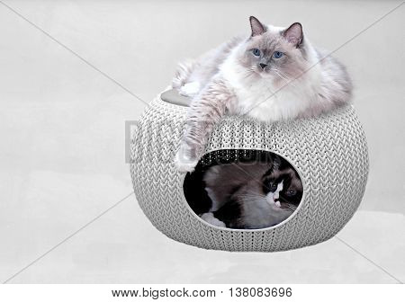 Two purebred ragdoll cats in cozy pet home.
