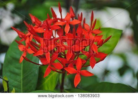 Flower Red Ixora, Red flower spike, Rubiaceae flower, Ixora coccinea It is a flowering shrub native.