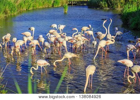 Sunset in national park of Kamargue. Pack of pink charming flamingos in the shallow lake. Delta of Rhone, Provence, France